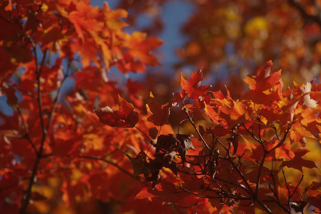 Fall is Punk Rock  #color #warm #leaves #nature #autumn #orange #red #photography  #artistic  #intense #bright