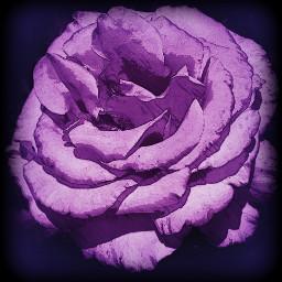 vignette hue crisp vibrant rose