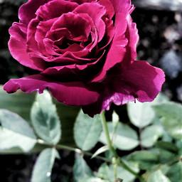 rose garden red natural naturalinmyhand
