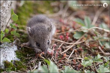 shrew critters rodent