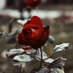 photography depthoffield rose red redrose