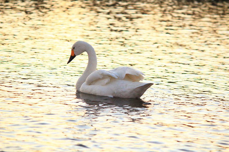 #japan #swan #bird #nature #canon