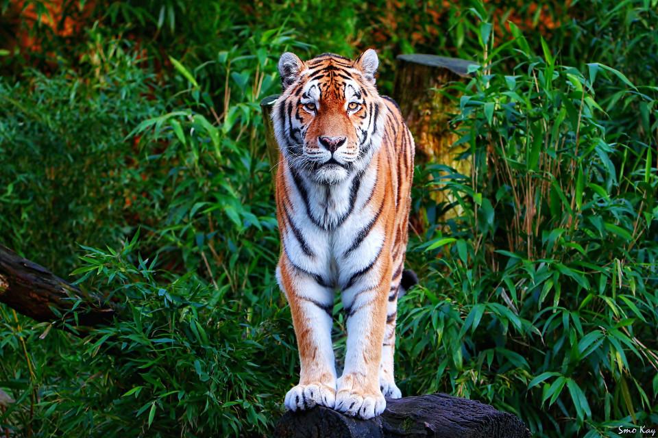 #tiger #photography #nature #petsandanimals #animals #zoo #colorful