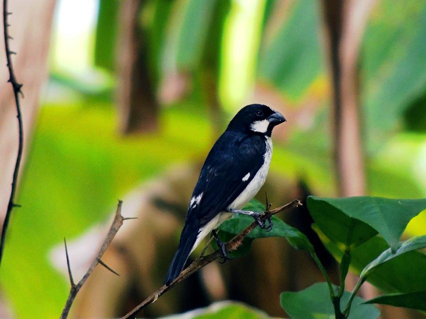 pássaro, espécie estrelinha ou também conhecido como bigodinho, foi retratado em um bairro no interior da cidade de RIO DE JANEIRO em um bairro chamado são sebastião.