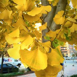 ginko tree autumn