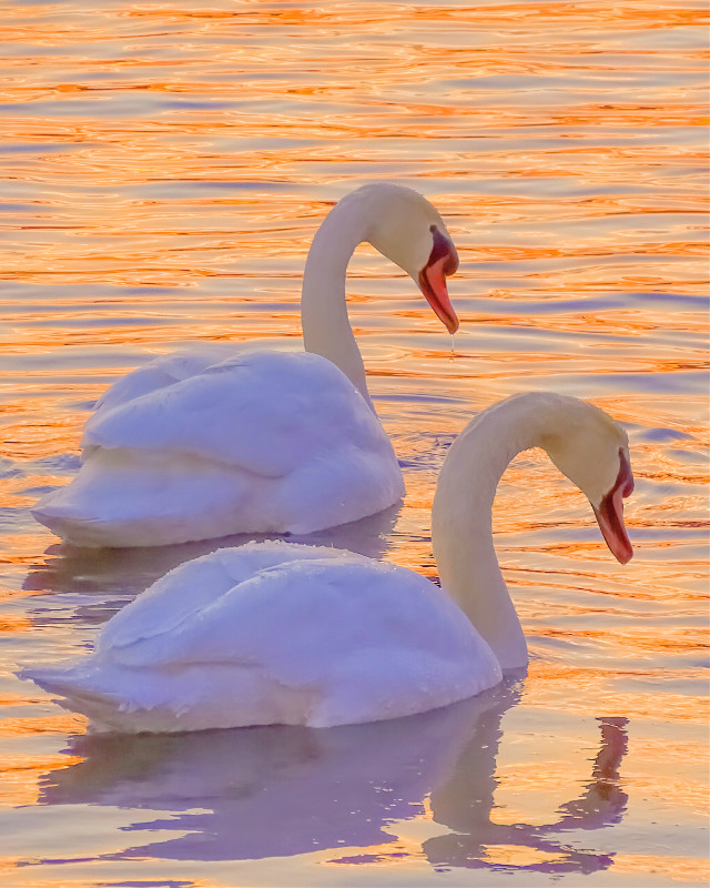 #freetoedit #photography #nature #bird #wildlife #swan #water #lake #Ontario #reflection #drip #drops #goldenhour #thelook #symmetry #insync #synchronized #synchronicity [*F]