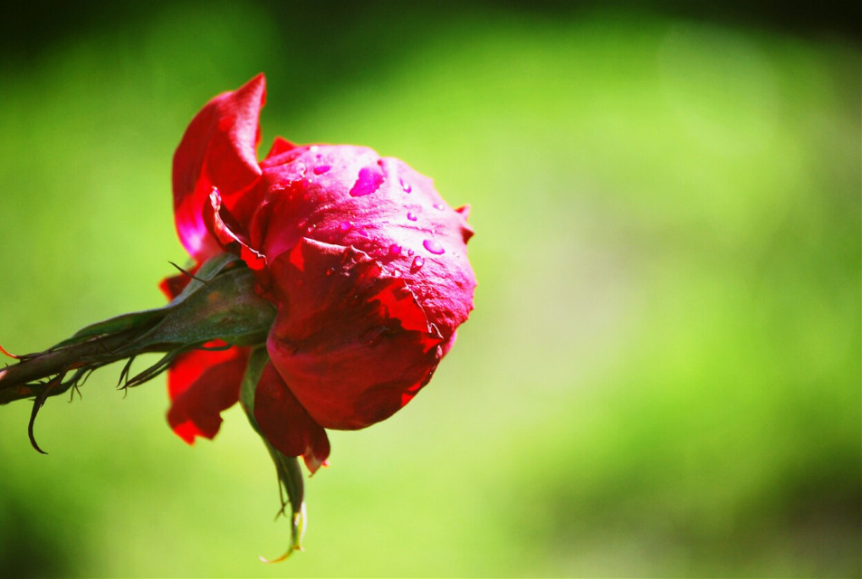 #photography  #rose #wet #rain