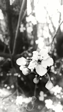 blackandwhite softfocus flower blossom tree