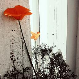 houseplants colorsplash poppy flower california