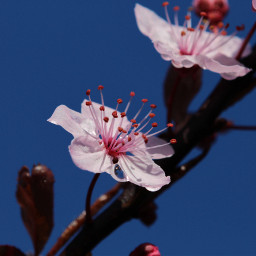 blueskys pink blossom