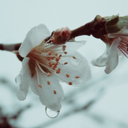 vintageivoryeffect blossoms rain raindrop drop