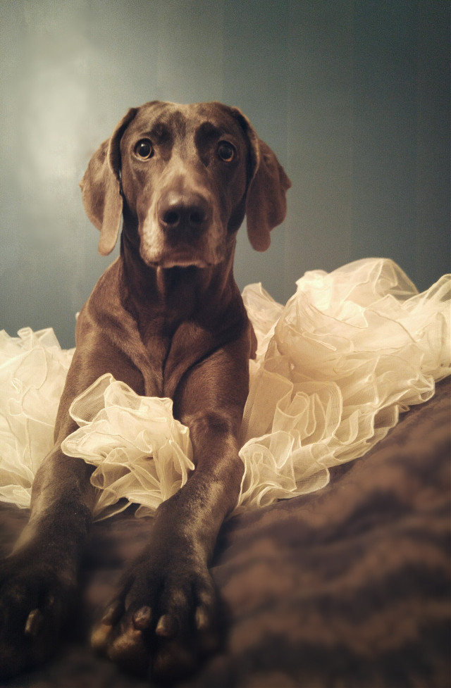 I'm overwhelmed with how much love this picture has received in the picsart community. Thank you all so much, you guys rock!  #dog #petsandanimals  #photography  #photoshoot  #lace  #ruffles #weimaraner  #blue #blanket #pcposing