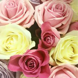 roses pink lavande lavander flower