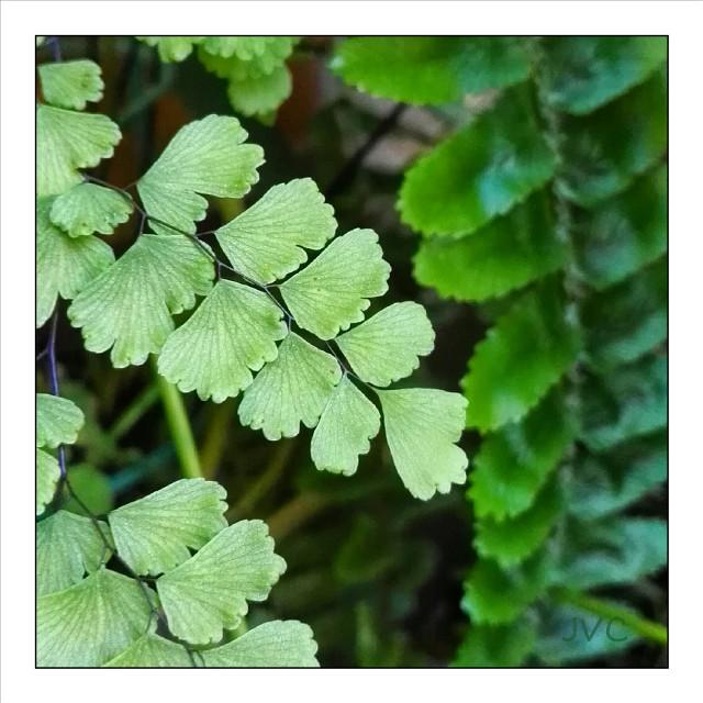 #fern #helecho #culantrillo #plant #plantas #garden #jardin #nature #naturaleza