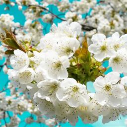 garden cherries blossom colorful nature spring cherryblossom