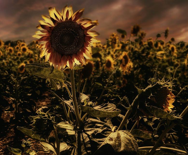 Original Photo (public domain) #sunflower #Garden #edited #colors #yellow #nature