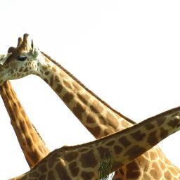 petsandanimals photography giraffe