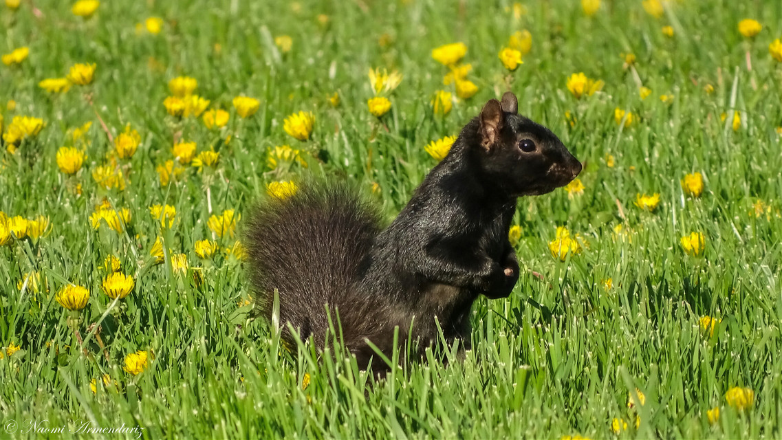 Squirrel!!! [*F]  #freetoedit #photography #nature #ground #grass #flower #dandelions #yellow #black #surprise #look
