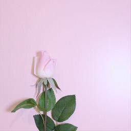 freetoedit minimal rose flower pink